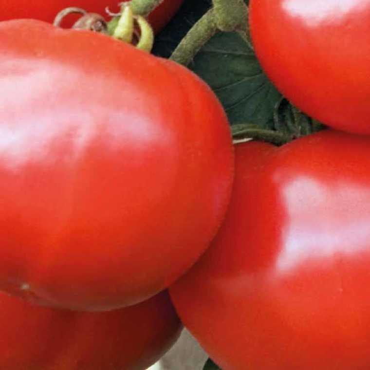 Tomate ronde Estiva. La barquette de 3 plants 447428