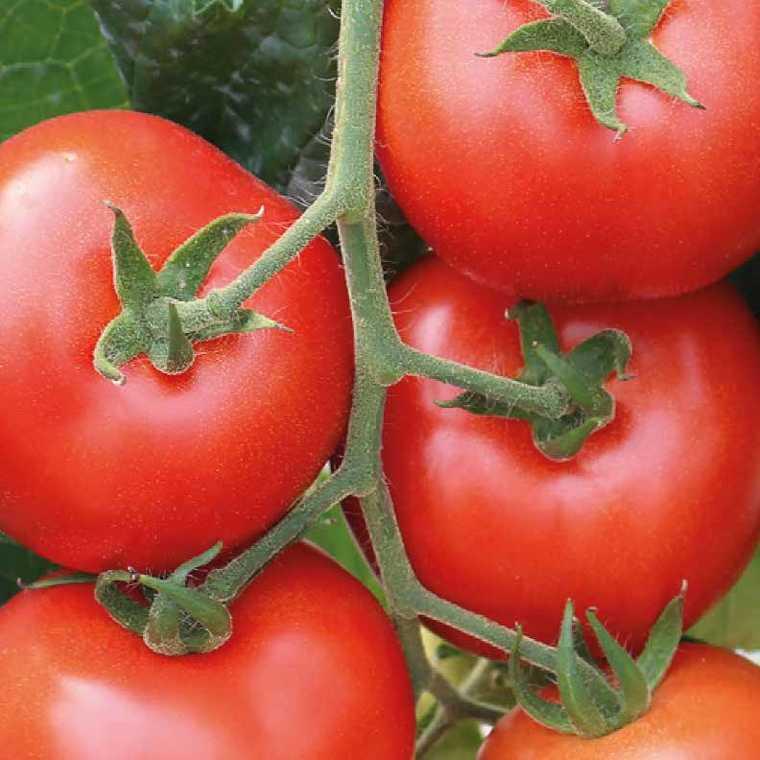 Tomate ronde en grappe Giolice. La barquette de 3 plants