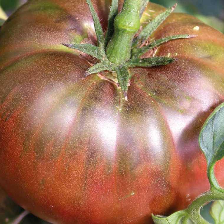 Tomate côtelée Noire de Crimée bio. La barquette de 3 plants 447431