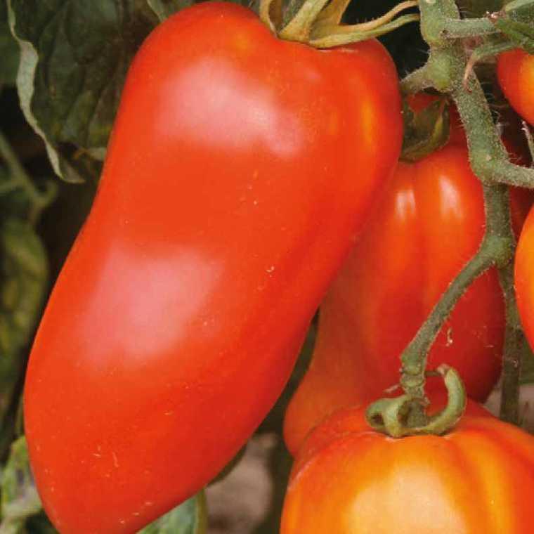 Tomate allongée Andine cornue bio. La barquette de 3 plants 447435