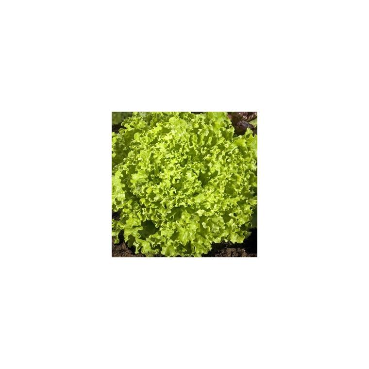 Laitue Pommée Etincel. La barquette de 12 plants