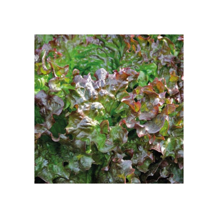 Laitue Batavia Rouge Amboise bio . La barquette de 12 plants 447438