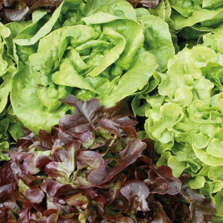 Salades bio en mélange. La barquette de 12 plants 447440