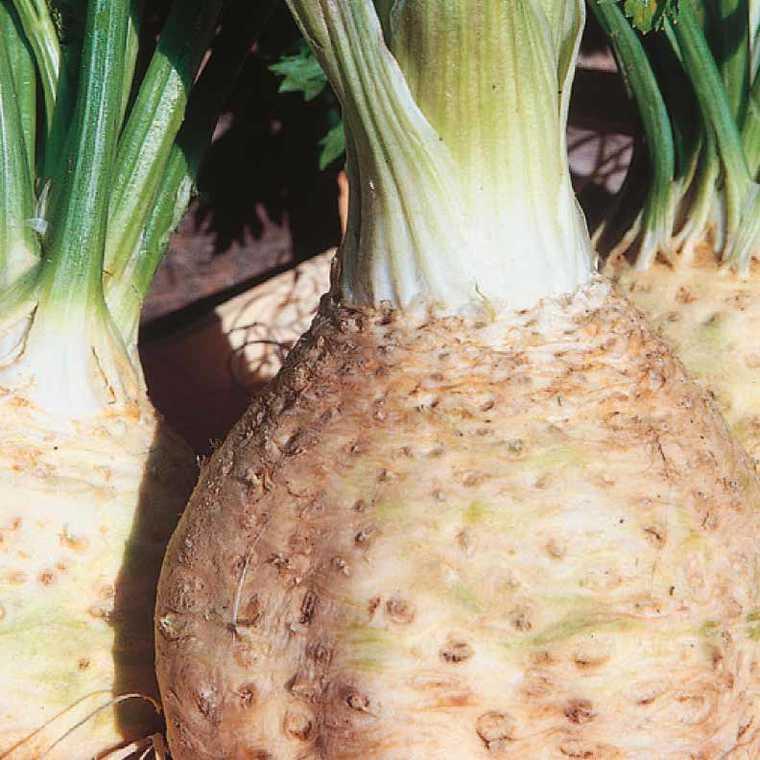 Céléri Rave Prinz bio. La barquette de 3 plants 447458