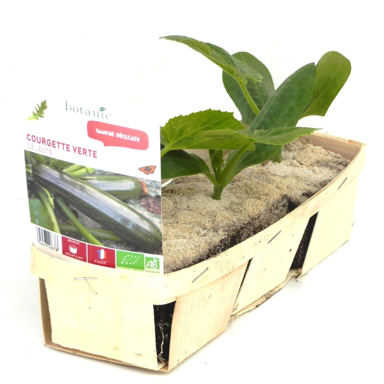 Courgette Verte Zodiac bio. La barquette de 3 plants 447467