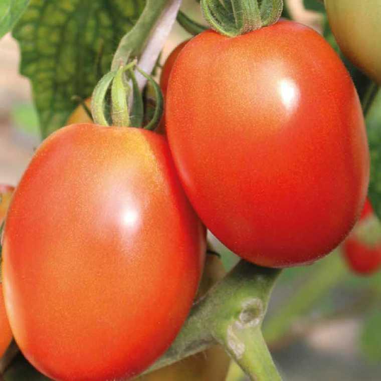 Tomate allongée Cencara. Le pot de 10,5 cm 447476