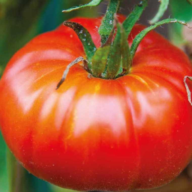 Tomate côtelée Marbonne. Le pot compostable de 10,5 cm 447481
