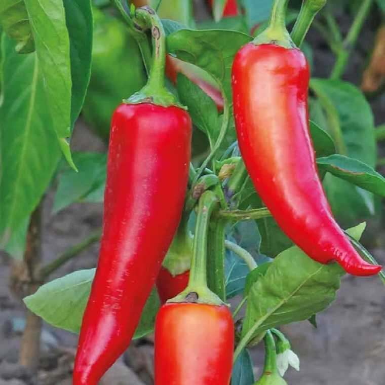 Piment De Cayenne Impala. Le pot compostable de 10,5 cm 447492