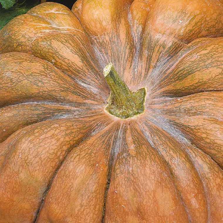 Courge Musquée De Provence bio. Le pot compostable de 10.5 cm 447494