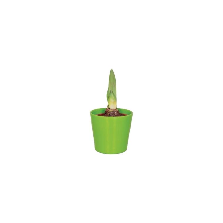 Amaryllis + cache pot 449023