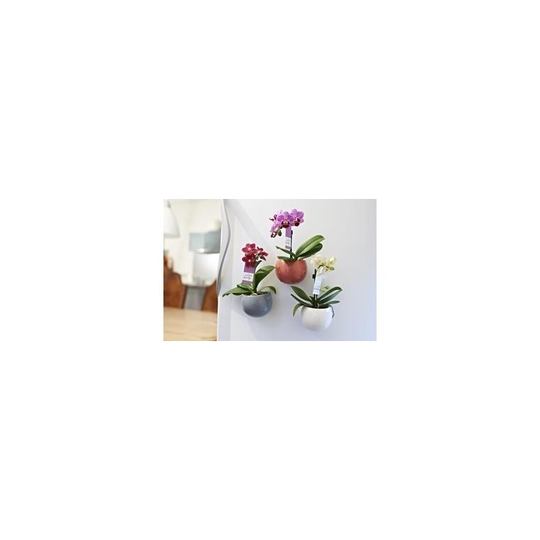 Phalaenopsis Baby + Cache-Pot magnétique 449428