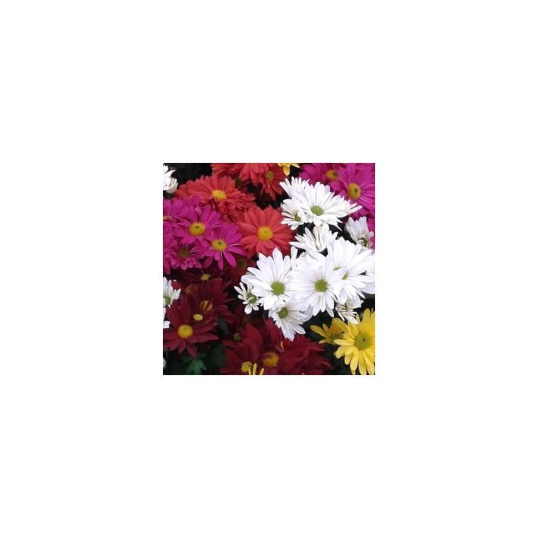Chrysanthème multifleurs arlequin. La jardinière de 40 cm 312885