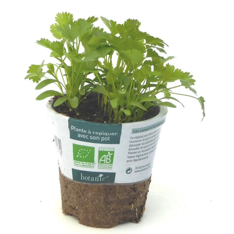 Coriandre. Le pot compostable de 10,5 cm 450517