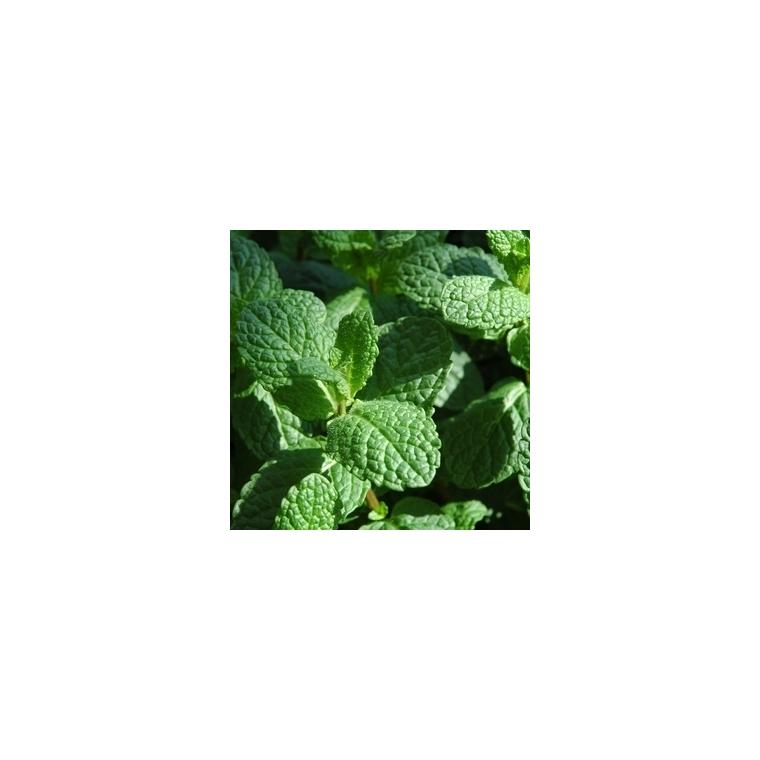 Menthe Marocaine bio. Le pot compostable de 10.5 cm 450522