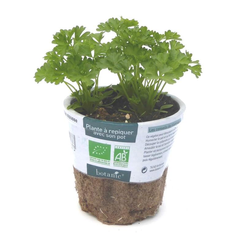 Persil Frisé. Le pot compostable de 10,5 cm 450527