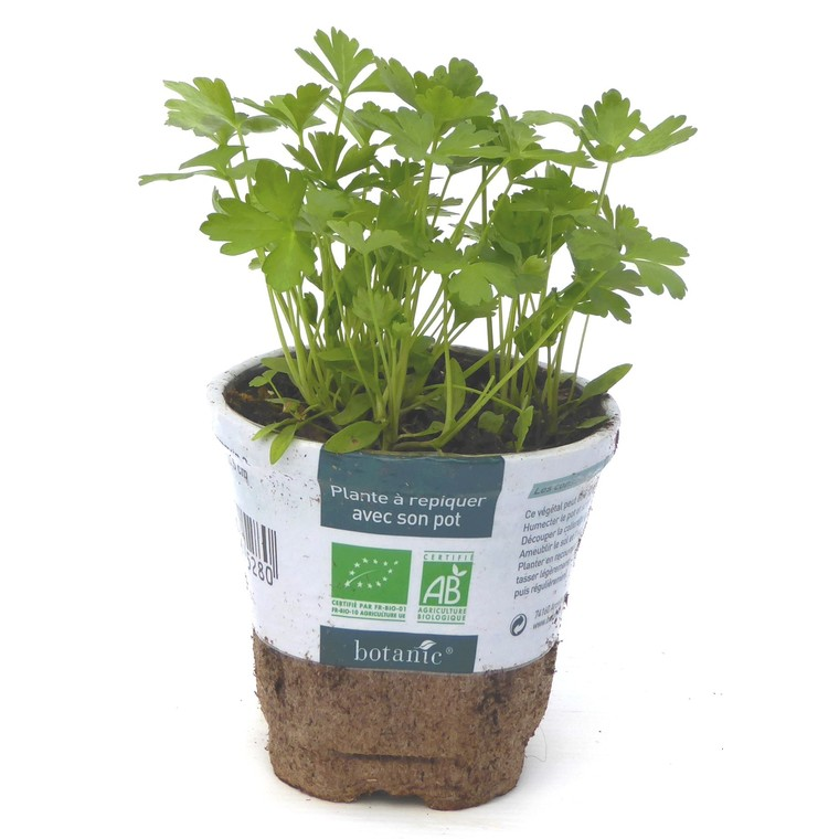 Persil Commun Dit Plat bio. Le pot compostable de 10.5 cm 450528