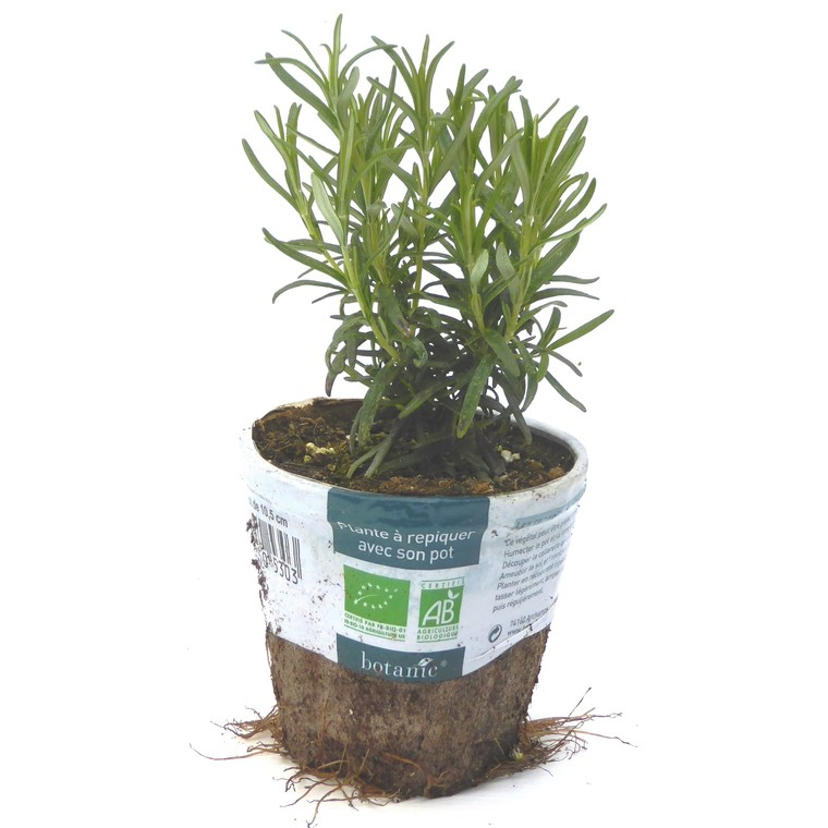 Romarin. Le pot compostable de 10,5 cm