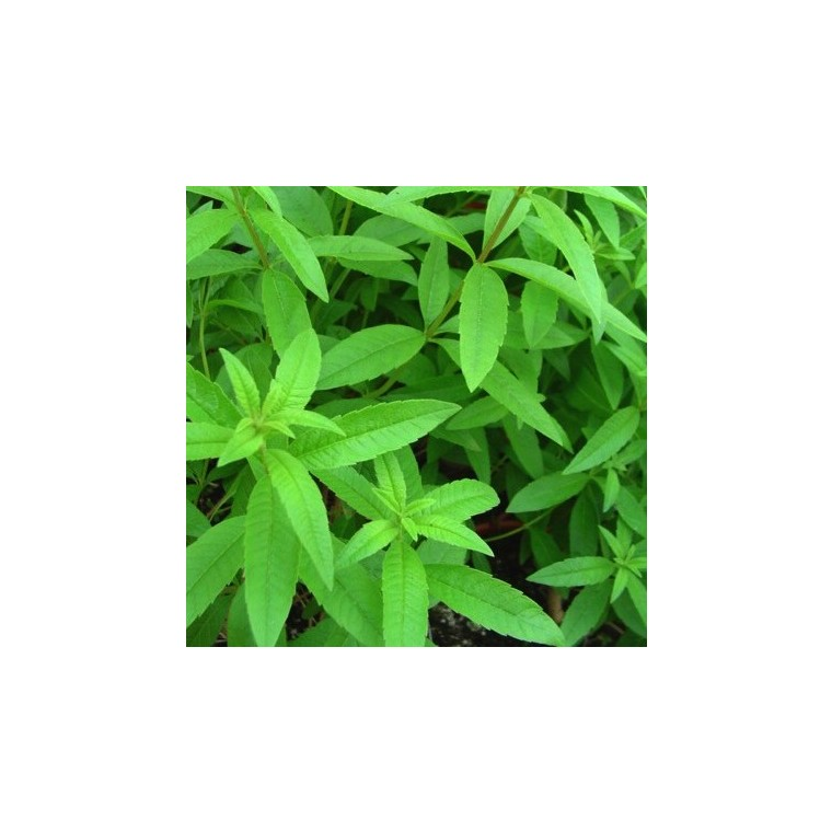 Verveine Citronnelle bio. Le pot compostable de 10.5 cm 450534