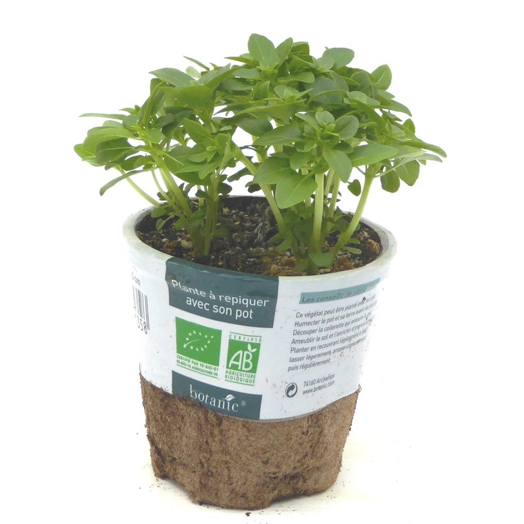 Basilic Fin Vert bio. Le pot compostable de 10.5 cm 450535