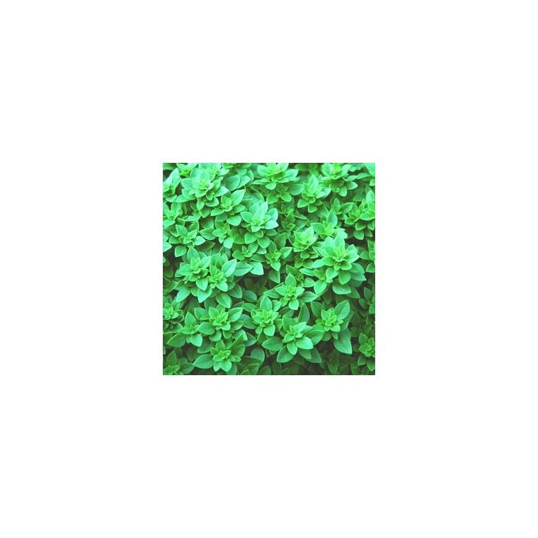 Basilic Fin Vert. Le pot compostable de 10,5 cm