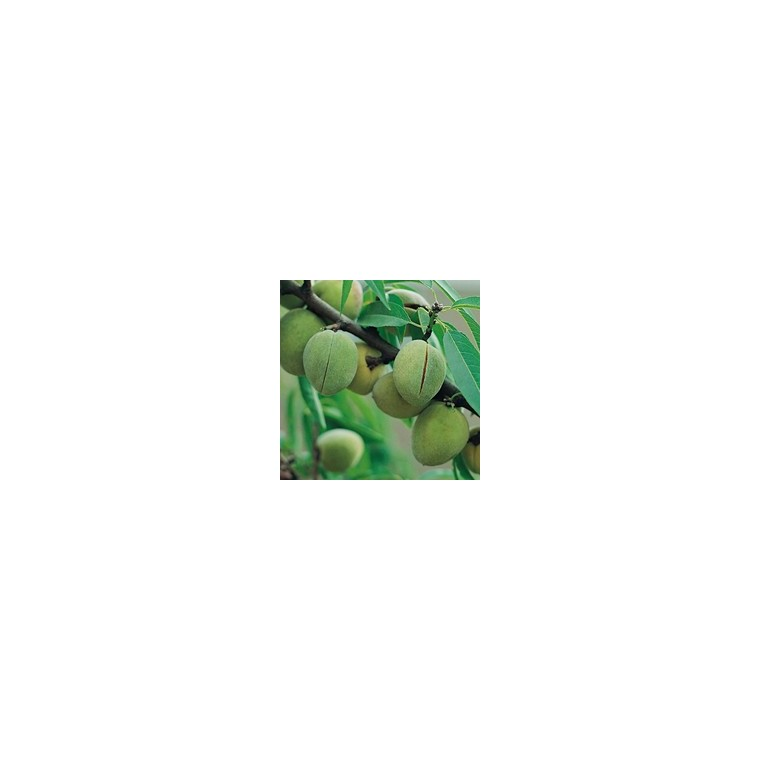 Amandier Ferragnes ® forme gobelet 45087