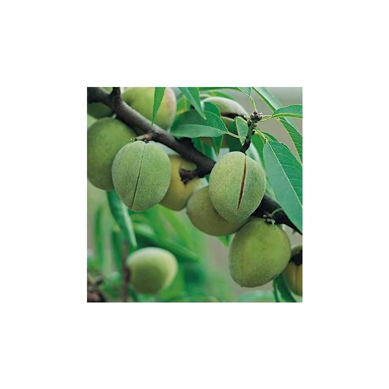 Amandier Ferragnes ®. Le pot de 15 litres, forme 1/2 tige 45135
