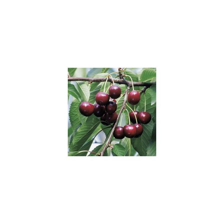 Cerisier Bigarreau Reverchon forme 1/2 tige 45141