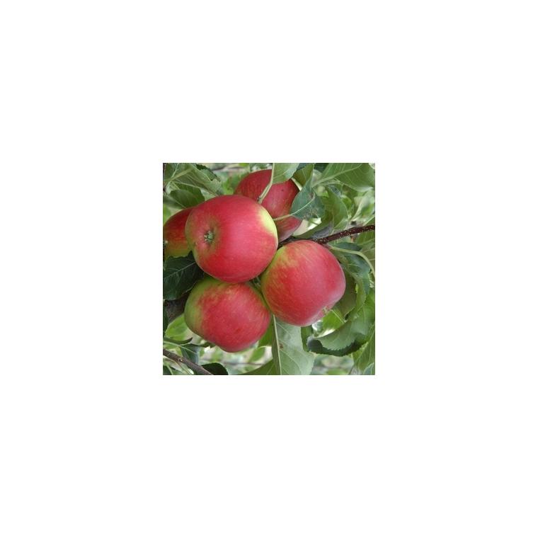 Pommier Pomme Des Moissons ® Delprivale forme 1/2 tige 45166