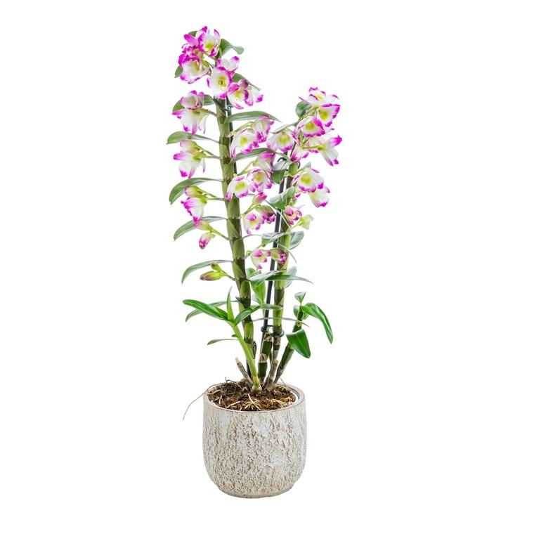 Orchidée Dendrobium avec cache pot Ø12cm 455163