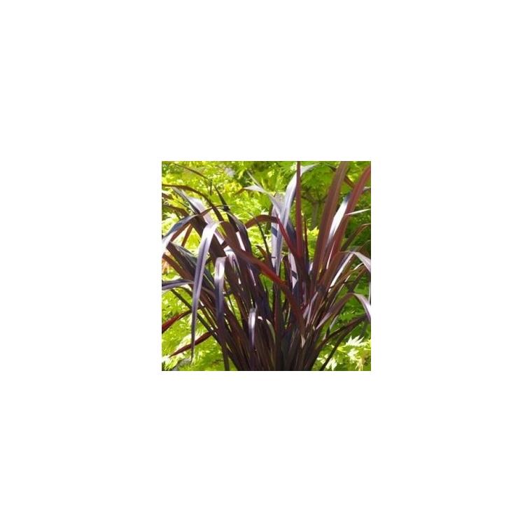 Phormium lin de Nouvelle Zélande. Le pot de 1 litre 214264