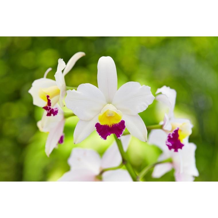 Orchidée Cattleya 464526