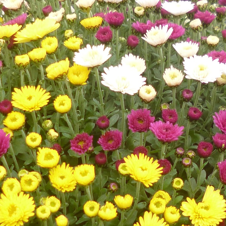 Chrysanthème multifleurs. Bac carré 25 x 25 cm 467081