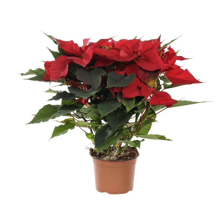 Poinsettia pailleté rouge en pot Ø 13 à 14 cm 467230