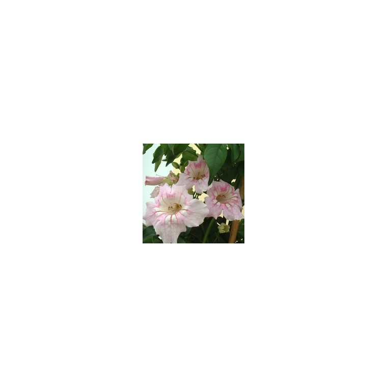 Podranea ricasolina rose en pot de 5 L 253832