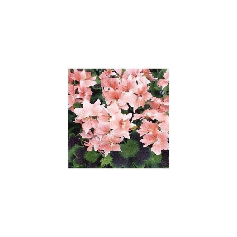 Géranium zonale à fleurs étoilées. Le pot de 1 litre