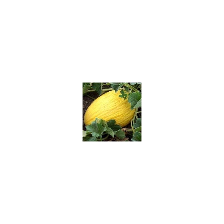 Melon Jaune. La barquette de 6 plants 47165