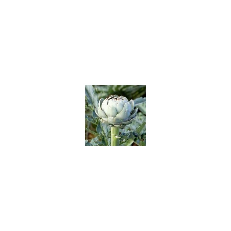 Artichaut vert Impérial Star bio. Le pot compostable de 10.5 cm 41507