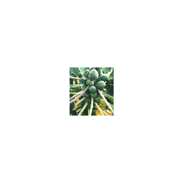 Chou De Bruxelles Nautic. La barquette de 3 plants 41496