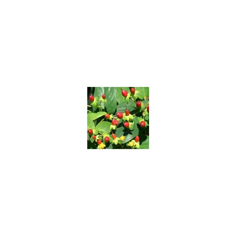 Hypericum à fruits. Le pot de 1 litre 163815