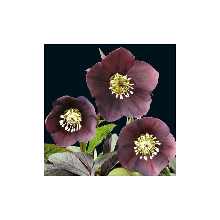 Helleborus Orientalis Noire. Le pot de 1 litre 129367