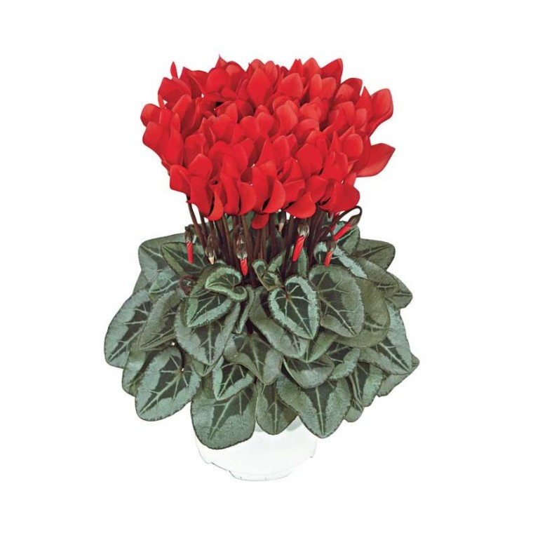 Mini Cyclamen de collection. Le pot de 10,5 cm 477453
