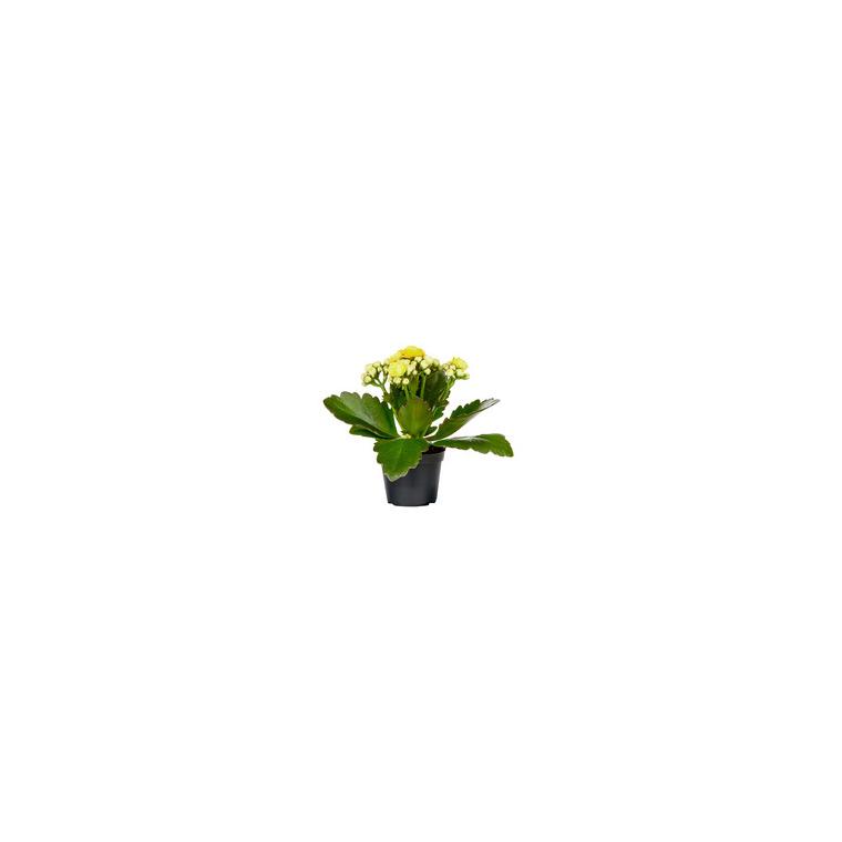 Kalanchoé Calandiva à fleurs doubles plante baby en pot Ø 6 cm