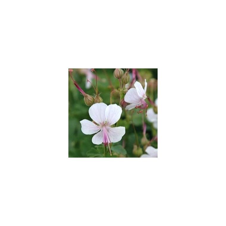 Geranium Biokovo. Le pot de 1 litre 48390