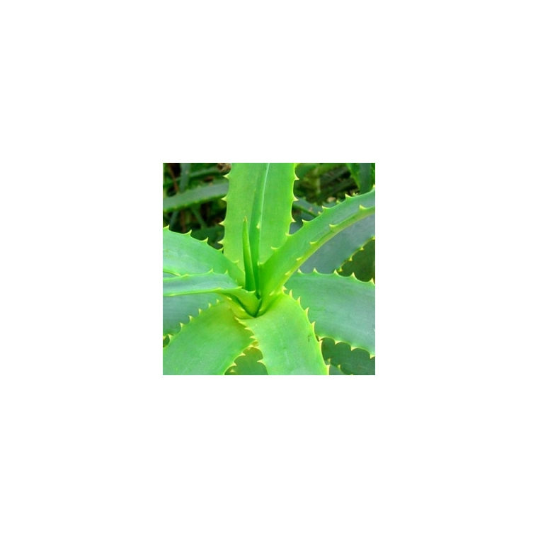 Aloe Vera. Le pot de 1 litre 128646