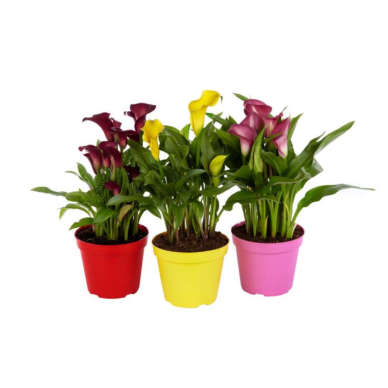 Arum  de couleur. Le pot de 1 litre 488975