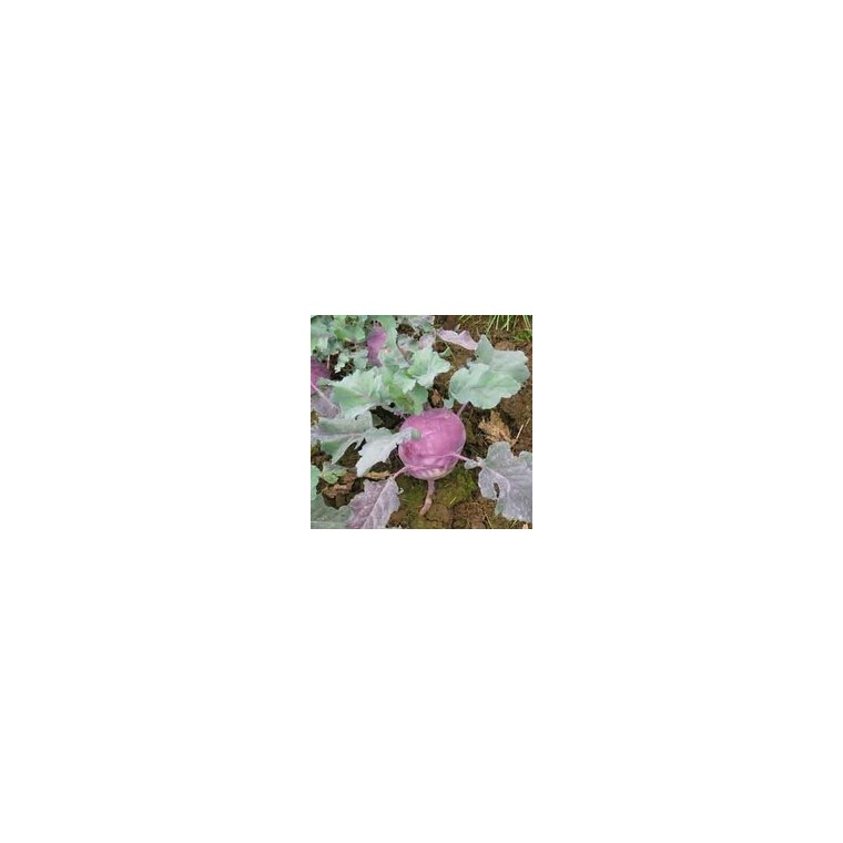 Chou Colrave Vert Korist bio. La barquette de 3 plants 41493