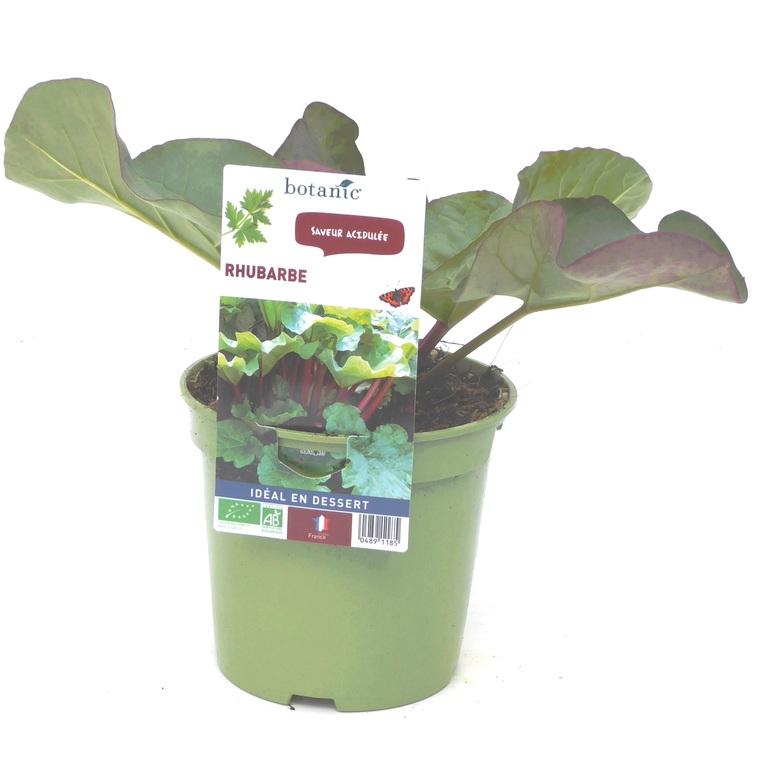 Rhubarbe. Le pot de 1 litre recyclé 489118
