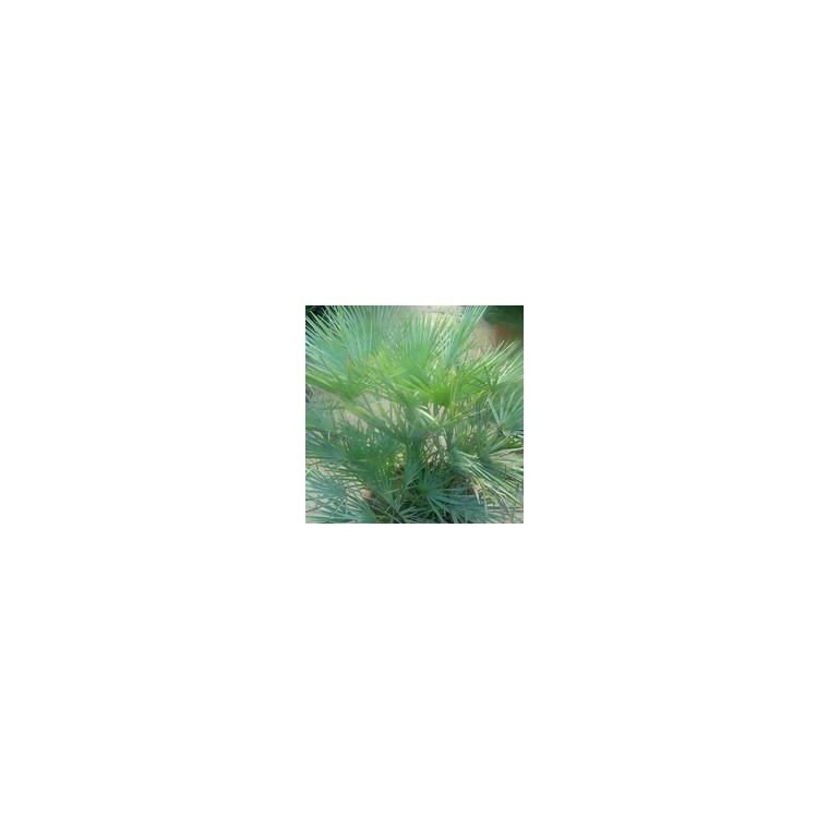 Chamaerops Humilis Ceracifera ou Palmier nain en pot de 17 cm 479622