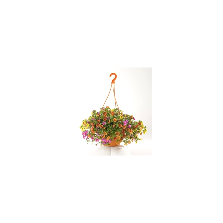 Calibrachoa. La suspension diam 27 cm
