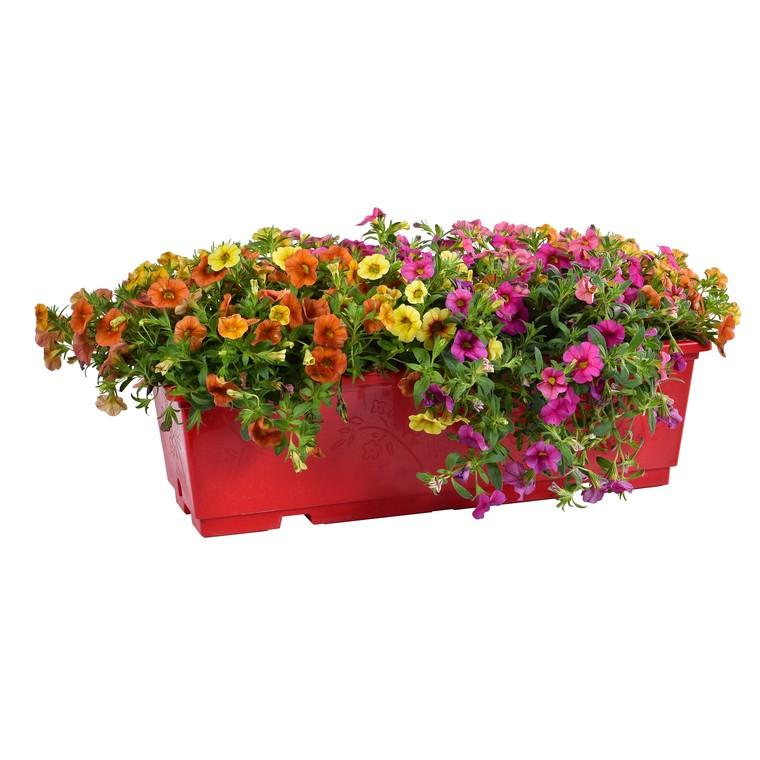 Calibrachoa. La jardinière de 40 cm 493785